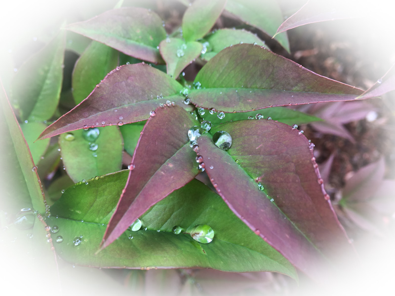 PFC free - droplets of rain on tree leafs show how Nature creates hydrophobic surfaces.